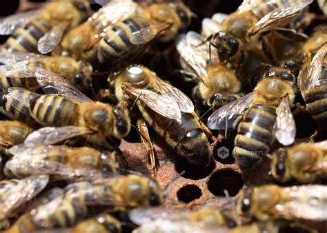 Caucasian Also Search For Caucasian Bees Naturally Mated Apiexpert