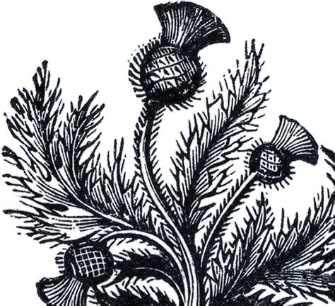 public domain thistle image  graphics fairy