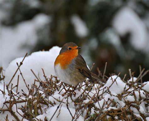 Rotkehlchen Im Winter 4661 by Rotkehlchen Im Winter Foto Bild Tiere Wildlife