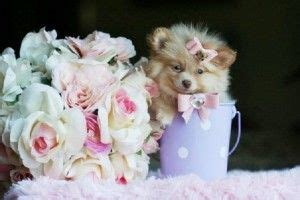 teacup pomeranian puppies for sale in wisconsin 17 best ideas about pomeranian puppies for sale on teacup pomeranian puppy