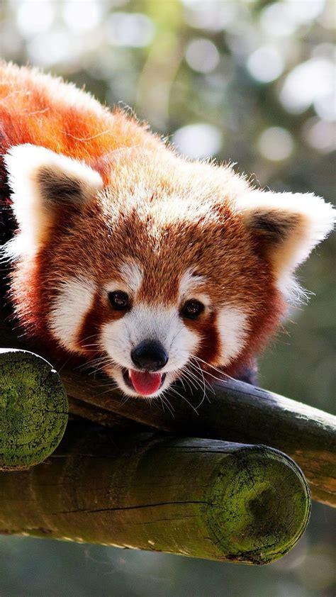 red panda wallpapers  images