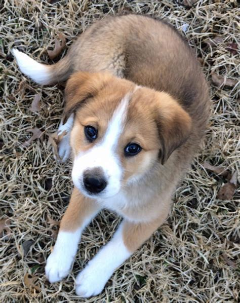 golden retriever shepherd mix puppies for sale australian shepherd golden retriever mix puppy
