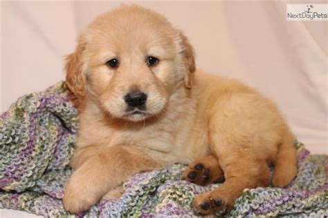 golden retriever puppy michigan golden retriever show dogs for sale breeds picture