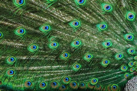detail of peacock as very nice animal background stock