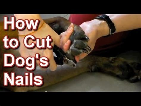 how to cut golden retriever nails vet tutorial how to safely trim a s nails funnydog tv