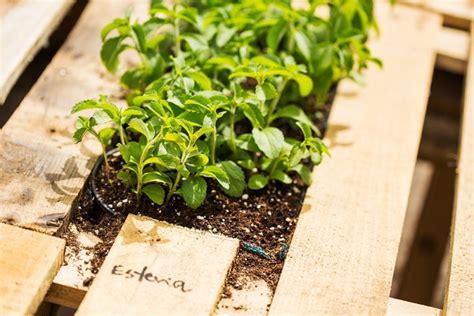 pianta di caffe in vaso coltivare il caff 232 e la stevia in vaso pollicegreen