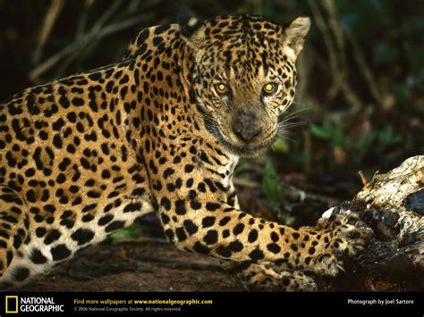jaguar picture jaguar desktop wallpaper free wallpapers