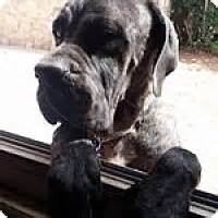 adoption el paso el paso tx mastiff mix meet sugar a for adoption