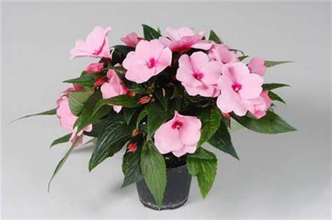 impatiens nuova guinea vaso coltivare le impatiens in vaso pollicegreen