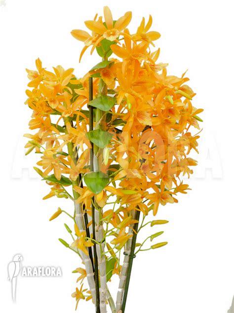 Panci Kalakat 40 Cm Orchid Limited 1 araflora flora more orchid dendrobium x nobile orange