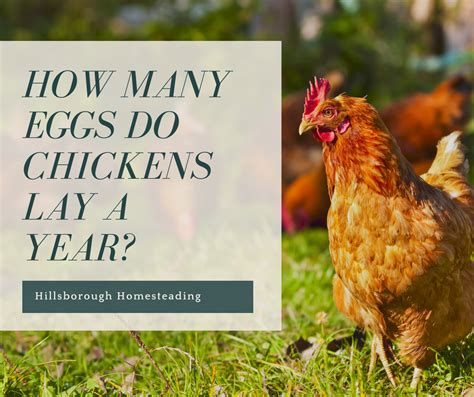 an egg a day how many eggs will a hen lay hillsborough