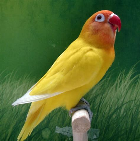 Multi Bird Pakan Burung Parrot om hoby cara mudah penagkaran burung lovebird