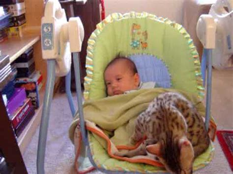 swing for 3 month old egyptian mau kitten rocking with 2 month old baby lachlan