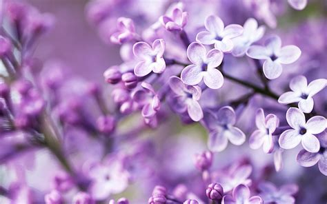 spring purple flowers wallpapers hd wallpapers id
