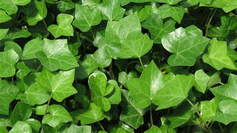 english ivy how to get rid of mold with common house plants serenity