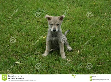 saarloos wolfdog puppies saarloos wolfdog puppy royalty free stock photography image 13405447