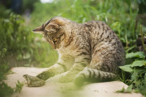 cat breed feline breeds domestic cats and color patterns