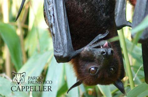 pipistrello volpe volante mammifero volante 28 images lemure volante