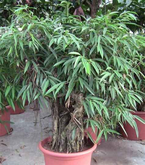 Ficus Alli Bonsai Big Plants Pinterest Container Garden