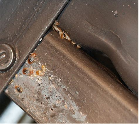 Bug Beds by Signs Of Bed Bugs On Your Bed At Bed Bug Supply
