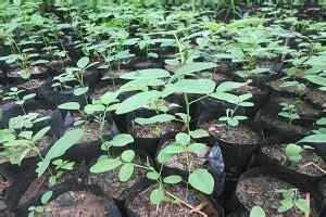 Bibit Pohon Indigofera 10 cara menanam indigofera untuk pakan ternak