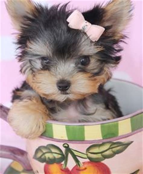 teacup yorkie utah carrie teacup yorkie puppy she most likely will be around 4 0 4 5 lbs grown