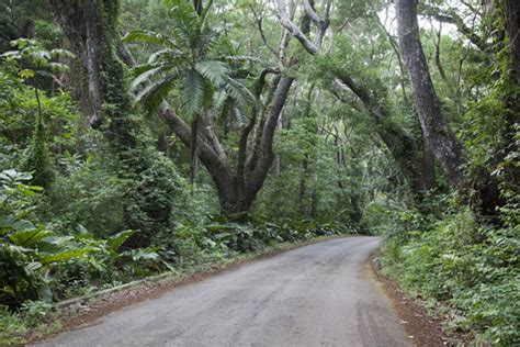cherry tree hill tunnel of mahogany trees on cherry tree hill barbados interior barbados travel story and