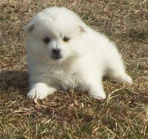 teacup american eskimo puppies for sale american eskimo puppies for sale breeds picture