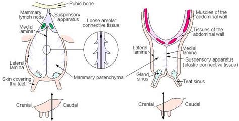 udder diagram teat laceration repair