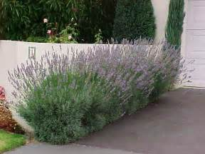 dwarf lavender hello hello plants garden supplies