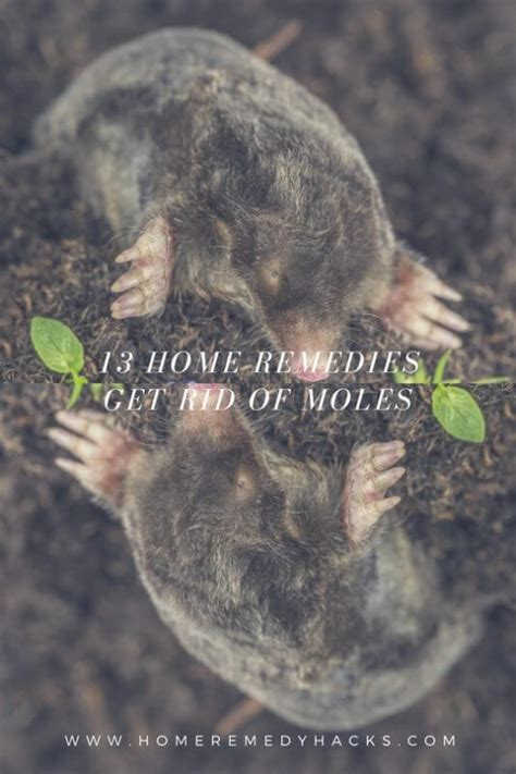 stop from digging home remedy 13 home remedies to get rid of moles in your yard