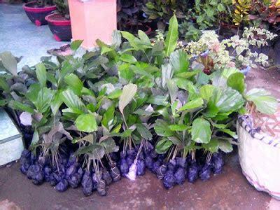 Bibit Lada Perdu Tinggi 30 40cm bibit sawit karet dan aren daftar harga produk bibit tanaman perkebunan yang kami jual