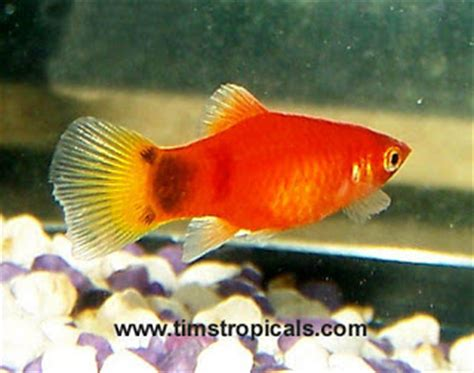 Makanan Ikan Hias Platy inti sari yuks pelihara ikan hias air tawar di aquarium