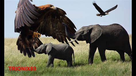 imagenes sorprendentes de animales gigantes aguilas reales cazando aguilas gigantes reales el