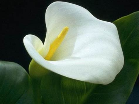 beautiful flowers calla flowers pictures meanings