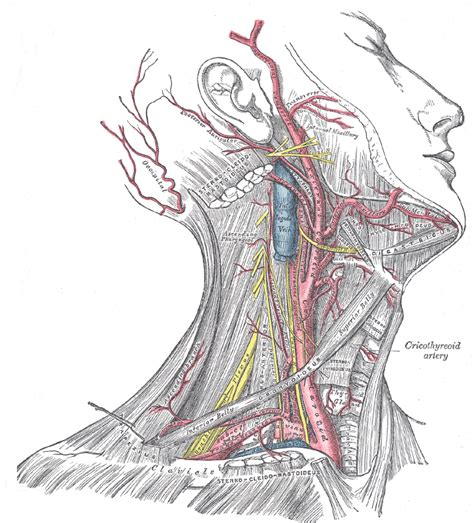 grey s anatomy coloring book pdf vascular anatomy of the and neck