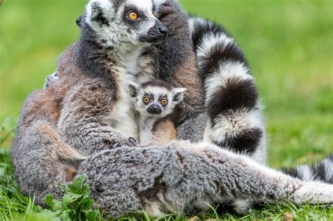 discount vouchers woburn safari park woburn safari park wants people to name this baby lemur