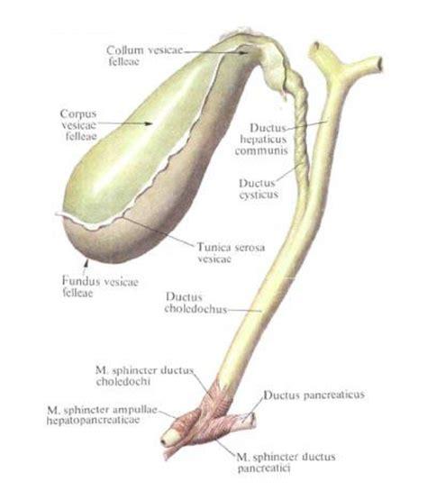 fundus of gallbladder gallbladder anatomy diagram gallbladder free engine