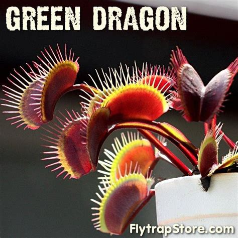 own a green dragon venus flytrap