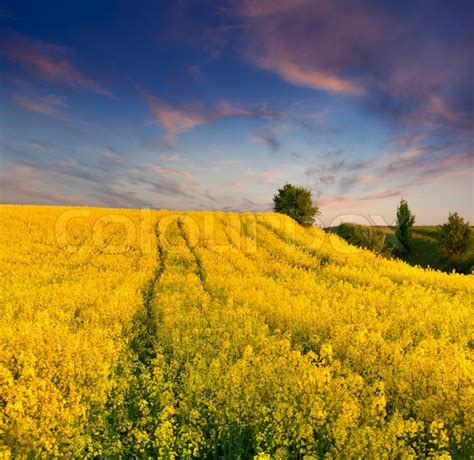 summer landscape   field  yellow flowers sunset