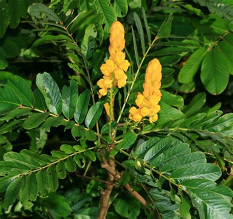 tanaman ketepeng cina candle bush bibitbungacom