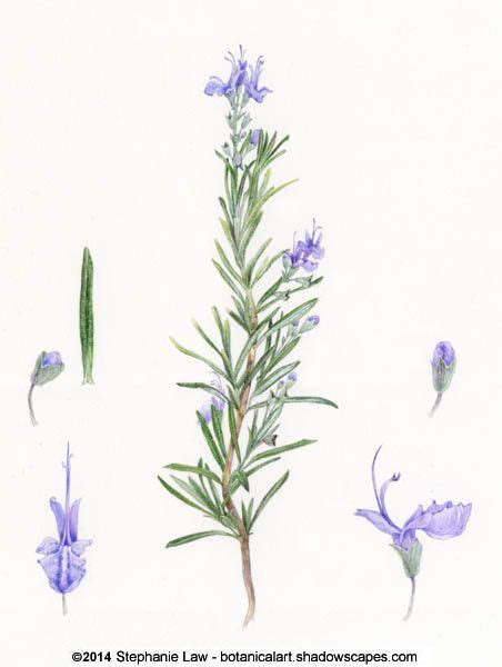 rosemary botanical illustration one of ophelia s flowers