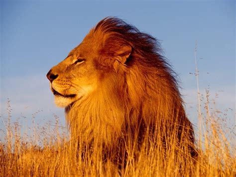 imagenes abstractas de leones imagenes de leones imagen leon tomando la brisa