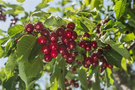 Fertilizing Cherry Trees How And When To Fertilize A Cherry Tree Pictures
