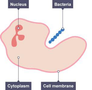 white blood cell diagram for bitesize gcse biology single science the