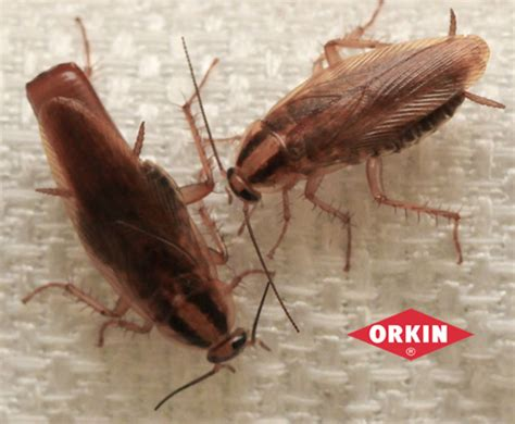 House Roaches by Cockroach Facts Roaches Orkin
