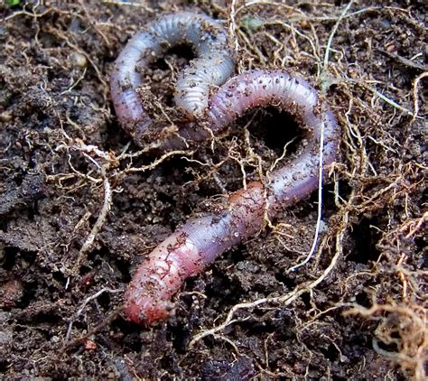 beyond pesticides daily news blog 187 blog archive earthworms detoxify pesticides at a high cost