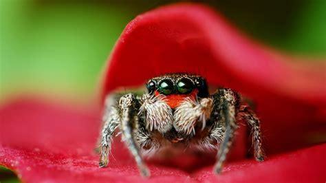 full hd wallpaper spider insect petal predator desktop