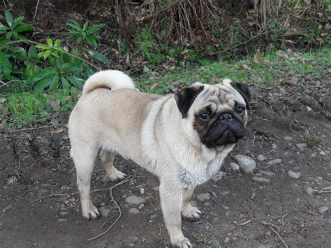 fawn pug fawn pug for stud only wigan greater manchester pets4homes