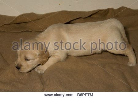 golden retriever lethargic duke a 6 month golden retriever puppy in his back yard wearing stock photo